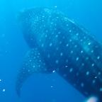 Millaista on uida valashaiden kanssa? Uskomaton elämys Tansanian Mafia- saarella